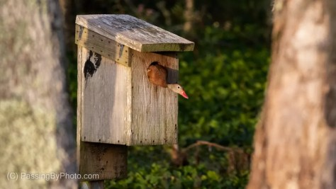 Black-bellied Whistling-Duck Peaking Out of Duck Box