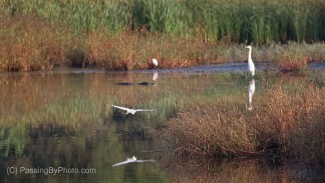 Morning at the Marsh, Egrets and Alligator