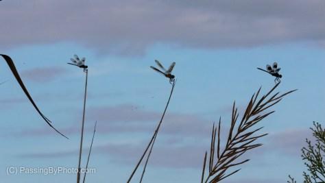 Dragonfly Trio (f-32)