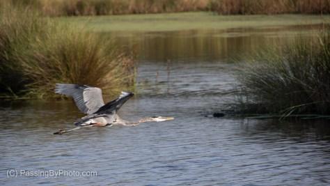 Great Blue Heron Flying Over Pond