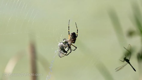 Black and Yellow Garden Spider With Catch