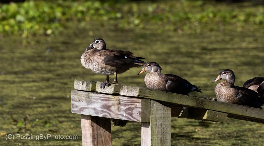 Wood Ducks On Alligator Ramp
