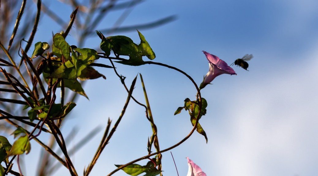 Pink Morning Glory and Bee