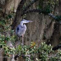 Great Blue Heron in Old Magnolia Tree