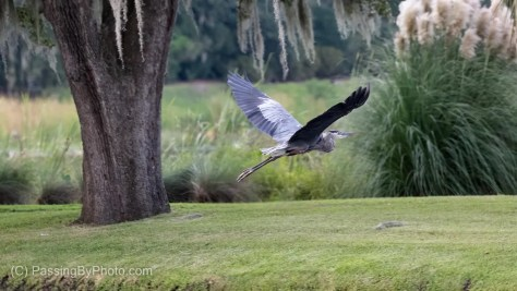 Great Blue Heron Flying Off