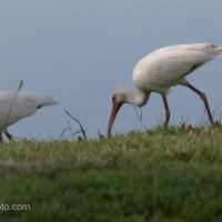 White Ibis Parade