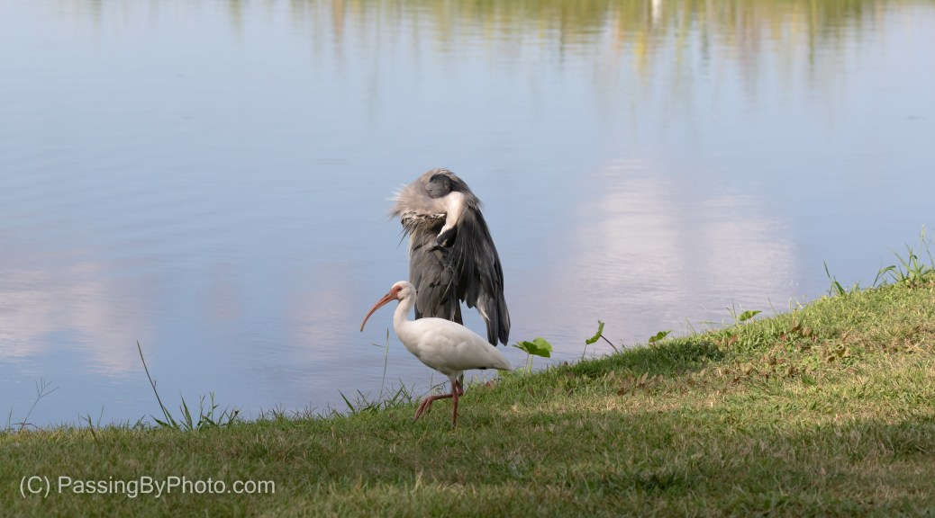 Great Blue Heron and White Ibis