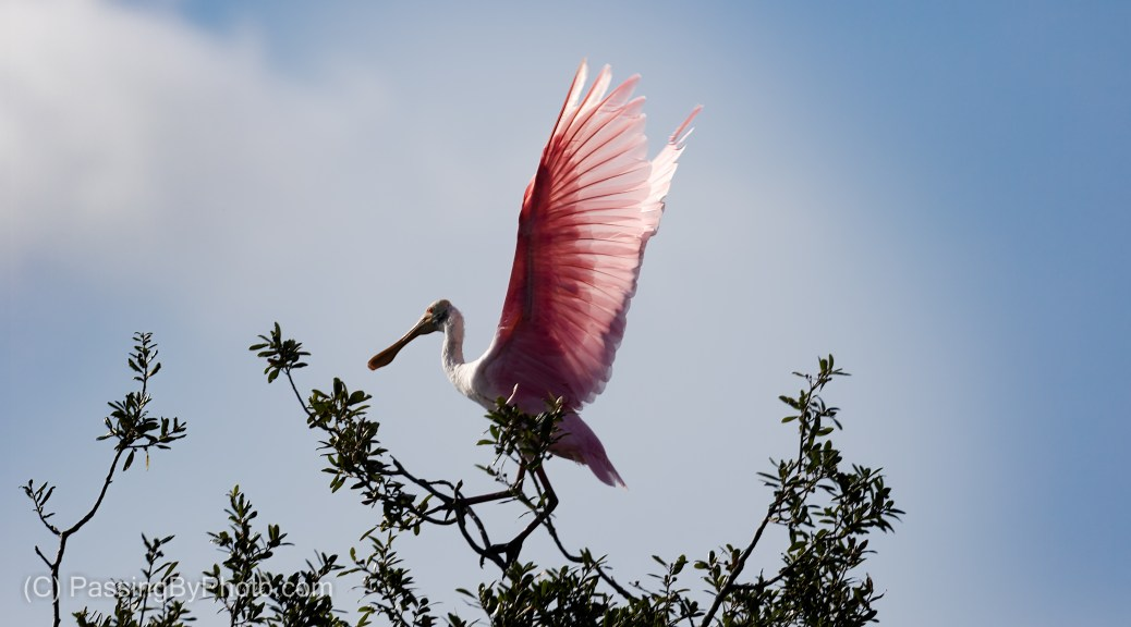 Roseate Spoonbill Getting Ready to Fly