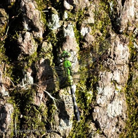 Eastern Pondhawk on Tree