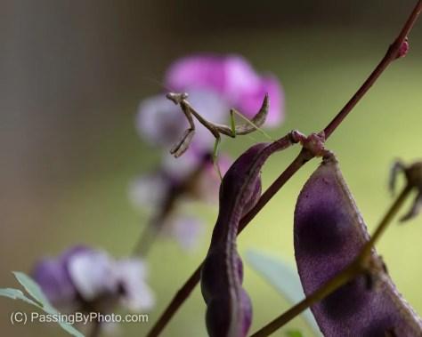 Praying Mantis on Hyacinth Bean