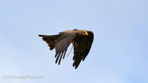 Yellow-billed Kite Catching Food In Flight