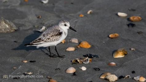 Sanderling on the Beach