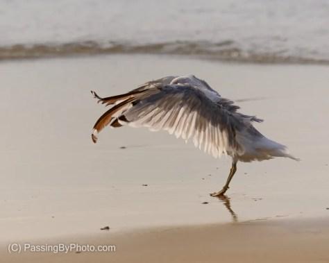 Ring-billed Gull at Shore