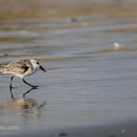 Sanderling, A Slower Pace