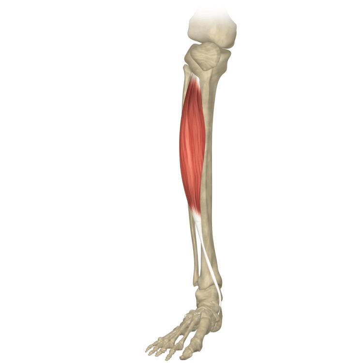 Qu'est-ce que la voile muscle? tibias intérieur