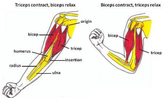 Qu'est-ce que la voile muscle? triceps biceps