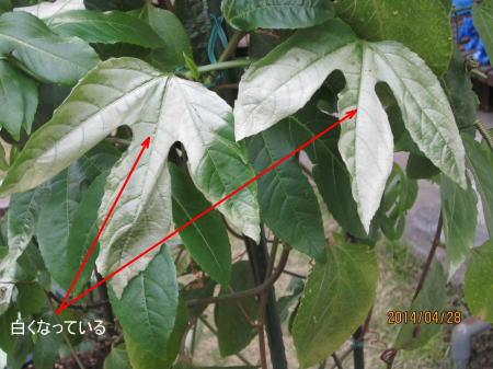 パッションフルーツの葉が白い2