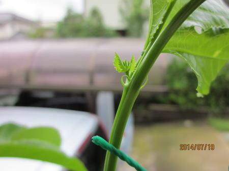20140719花芽が再び付き始める