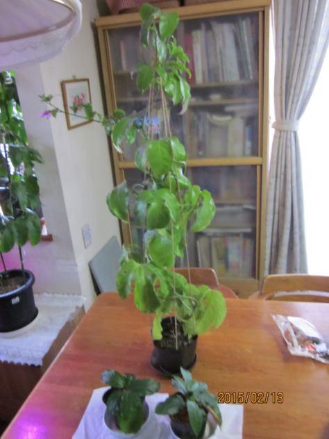 7月挿し木と9月挿し木の差20150213