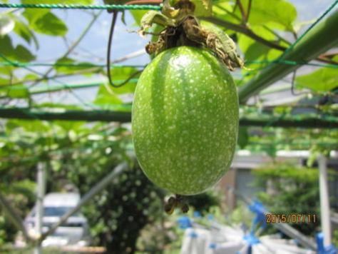 20150711黄果皮ジャンボの果実