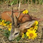 hungarian-roe-buck-trophy-posed-with-yellow-flowers