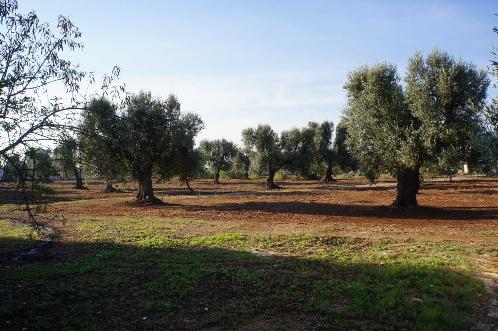 Ancient olive groves Puglia