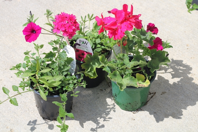 Annuals for Container Garden
