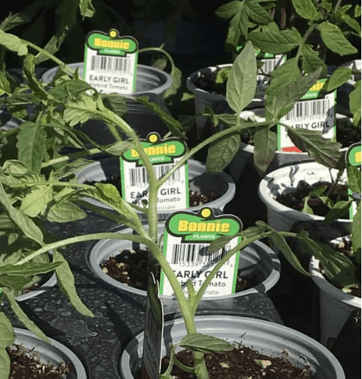 Bonnie Plants on Sale at Lowes Spring Black Friday Event