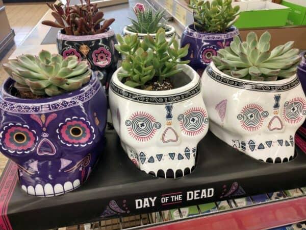 Aldi Sugar Skull Succulents