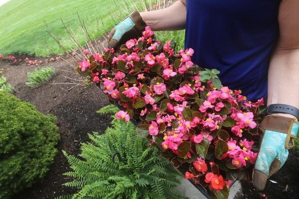 Planting Begonias