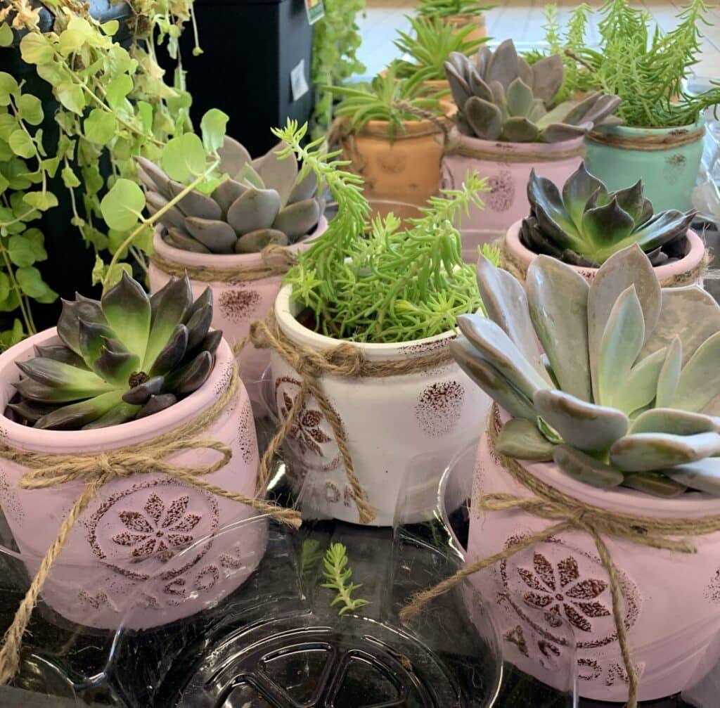 Aldi Summer Succulents and Cacti