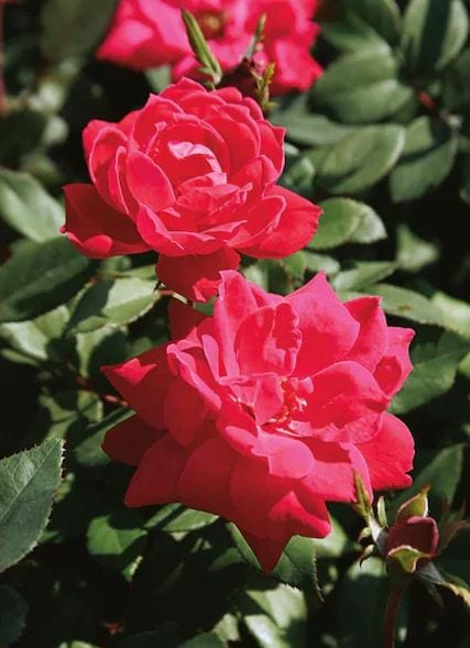 Lowes Knockout Roses