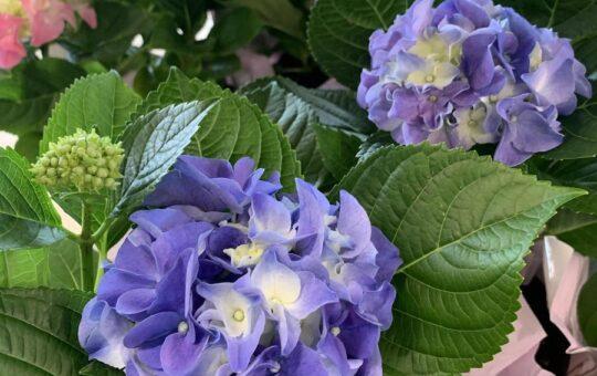Aldi Flowers Hydrangeas