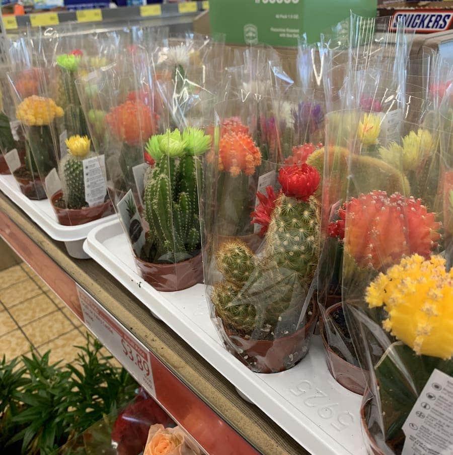 Aldi Succulents and Cacti