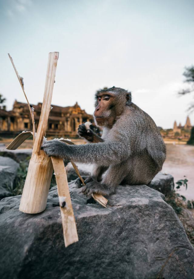 A monkey peeling his food in Cambodia