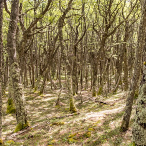 forest of skinny trees