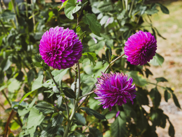 blooming purple dahlias