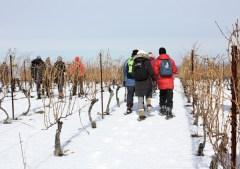 Snowshoeing throughout the vineyard
