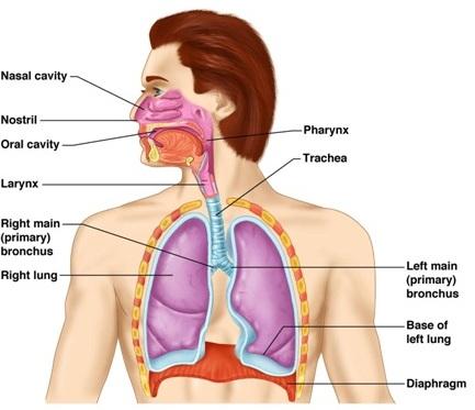 respiratory system | passnownow, Human Body