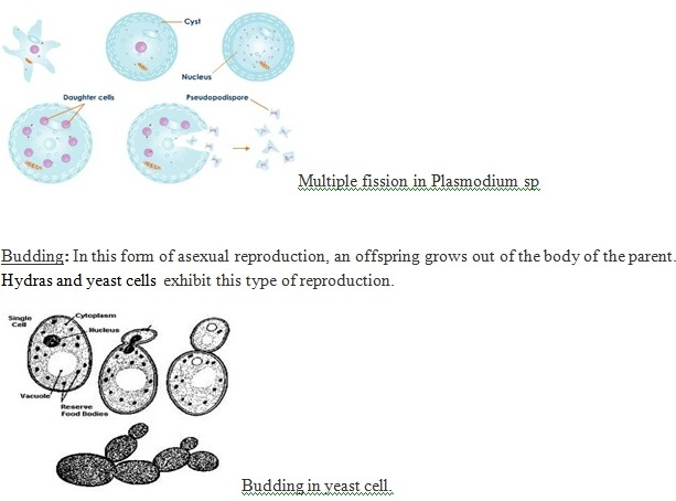 Multiple fission in asexual reproduction the offspring