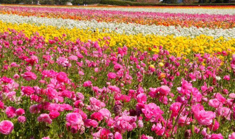 San Diego Carlsbad Flower Fields