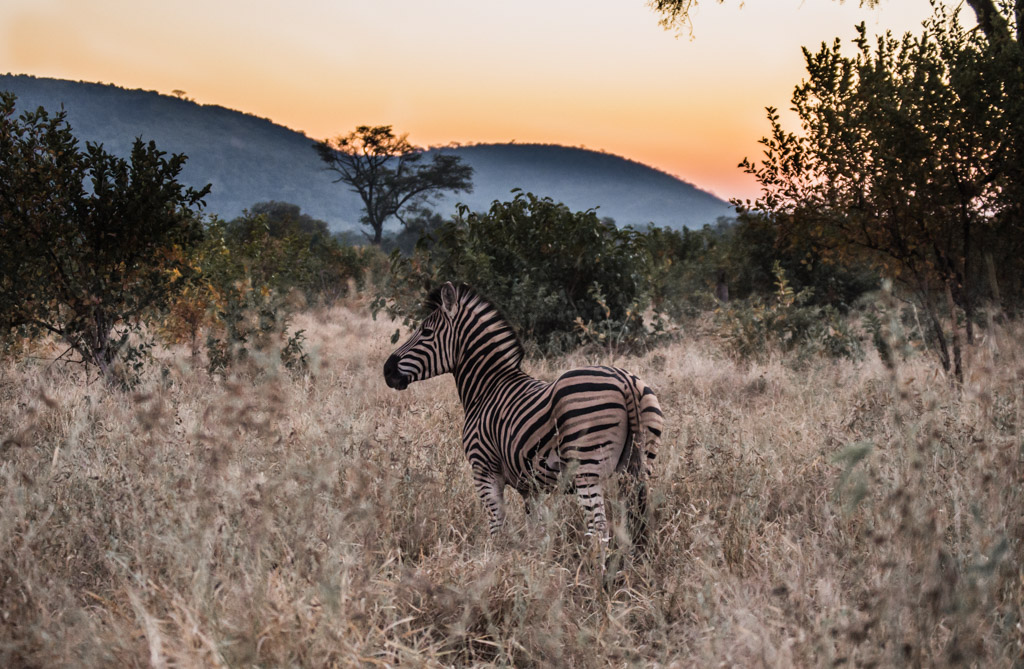 Zebra welcoming us at sunset
