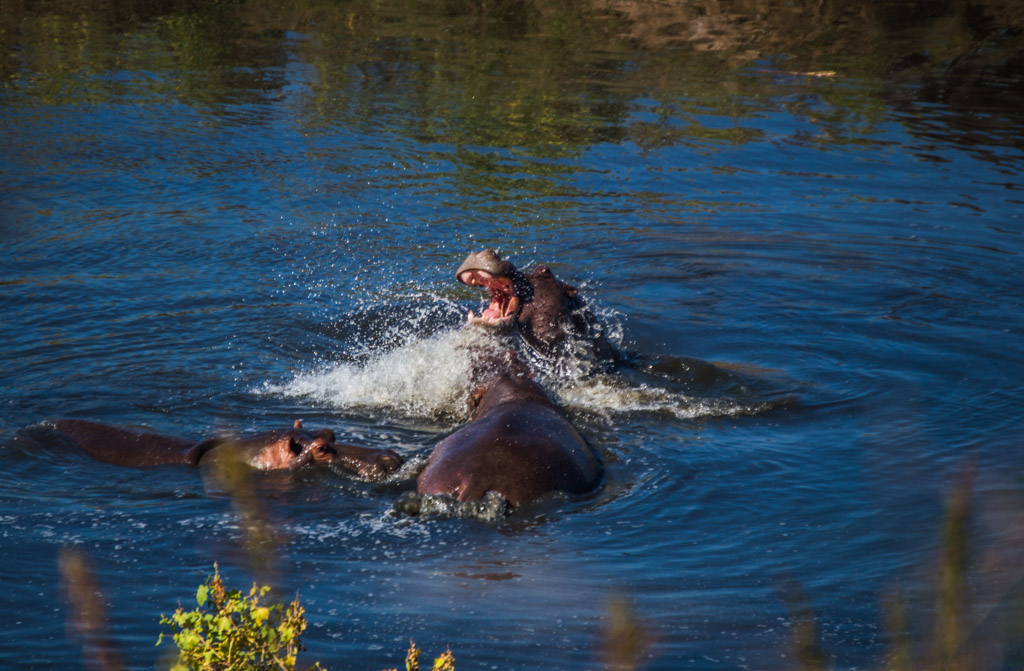 Hippos in the moment