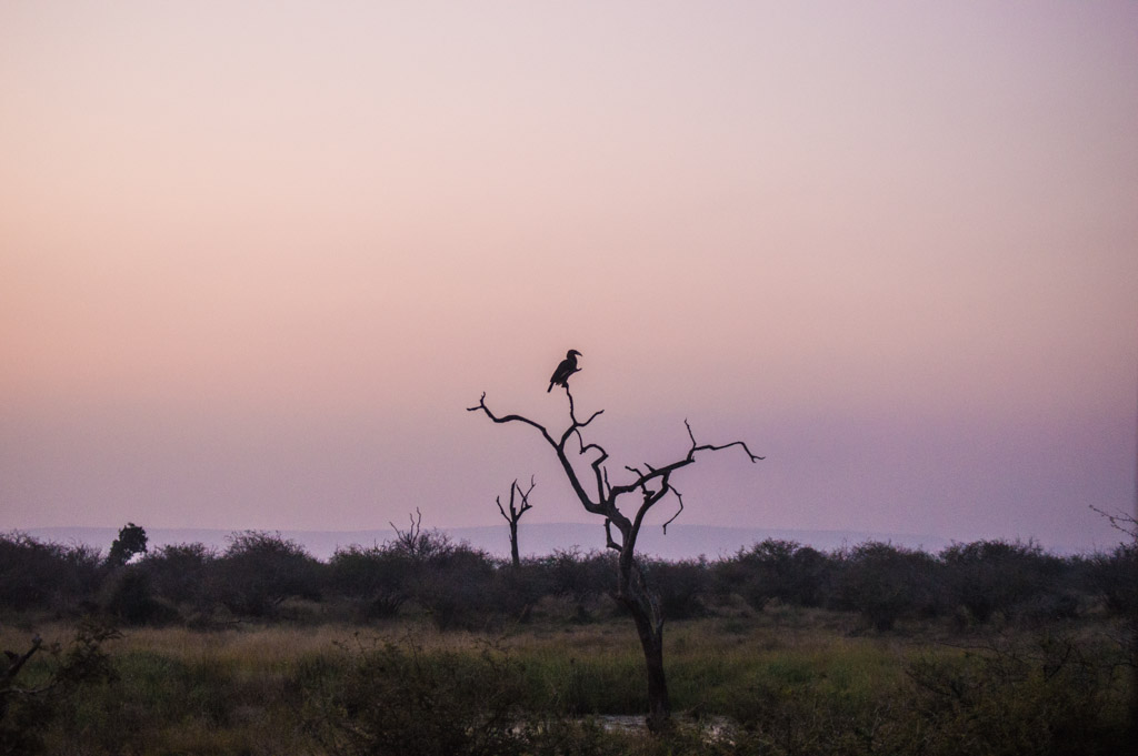 A ground hornbill at sunrise