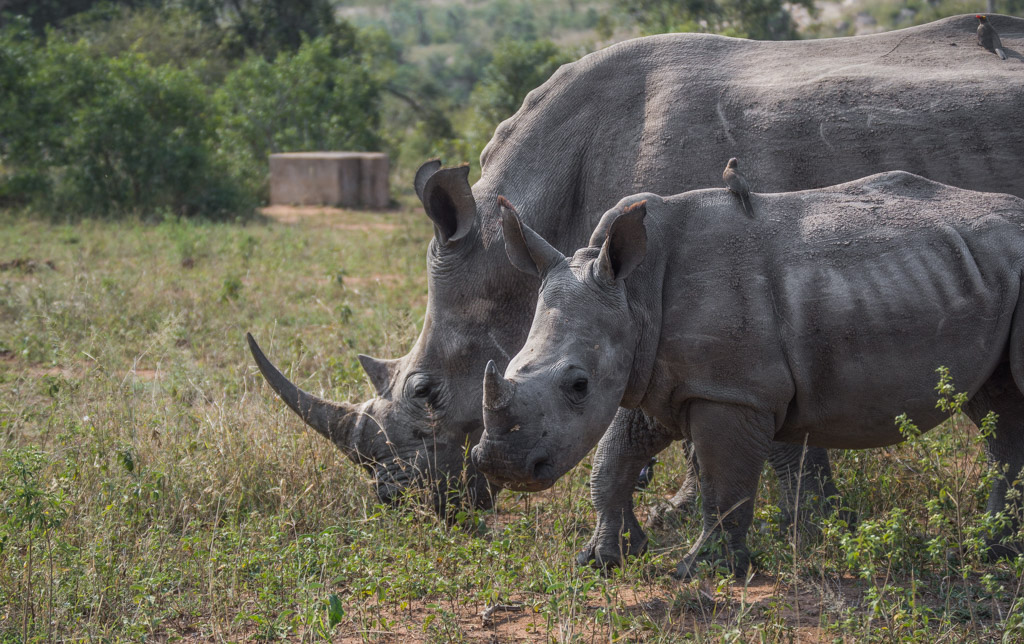 A mother and baby white rhino