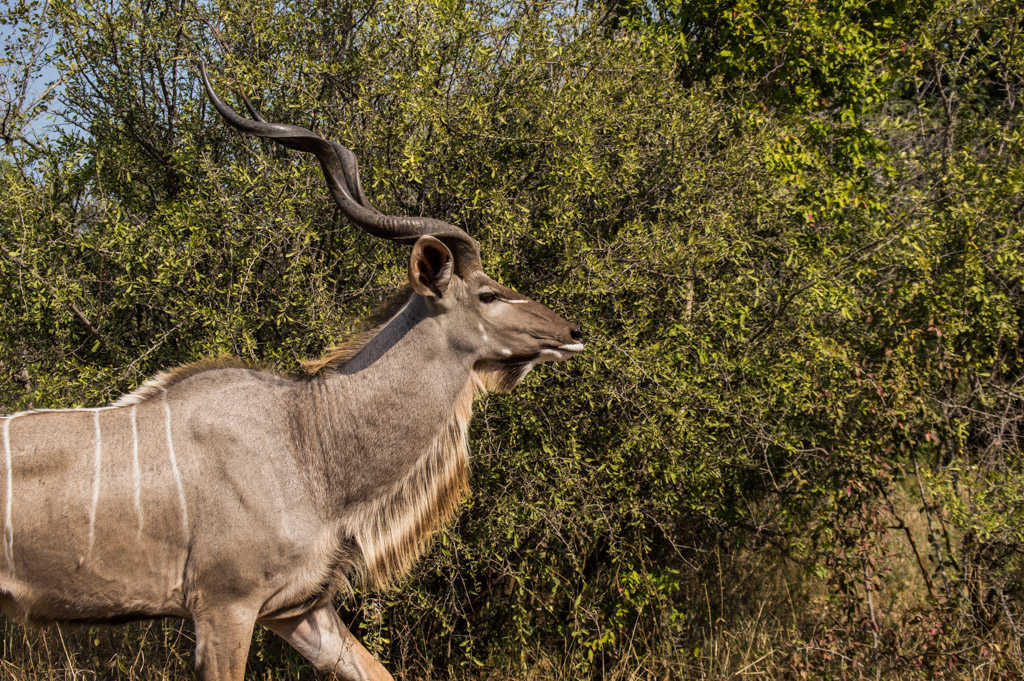 A beautiful male kudu
