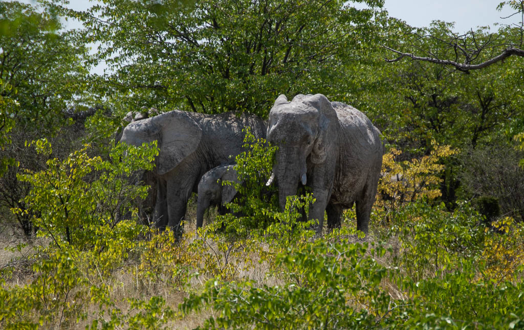 Our first glimpse of elephants in Etosha.