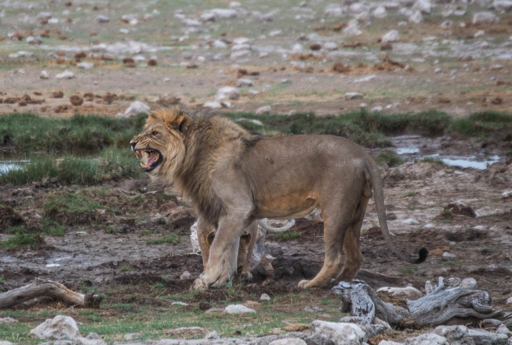 Male lion with female lion (behind) at sunrise