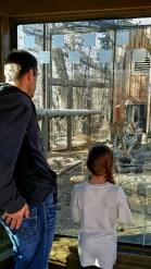 Amur Tiger, Calgary Zoo