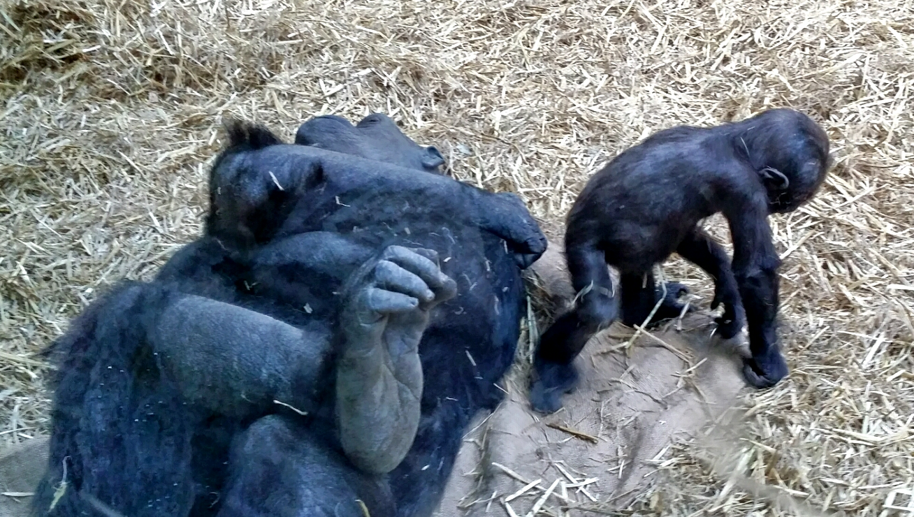 Kimani and her mom, Kioja, Calgary Zoo